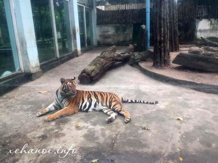 Một chú hổ tại thảo cầm viên