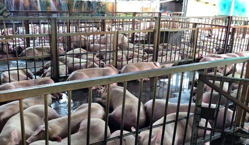 Đề nghị tiêu hủy 4000 con heo tiêm thuốc đầu độc người dân Hồ Chí Minh